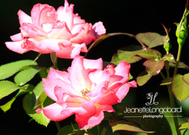Long Island Roses
