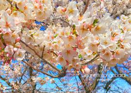 DC Cherry Blossom Tree