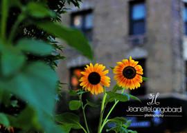 Happy Sunflower Pair