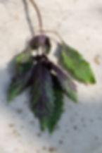 basilicum-veld-en-vaas-2-sal-t-4525.jpg