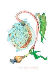 nr-11-Alium-Flora-Tuberosa.jpg