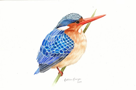 Kingfisher_15
