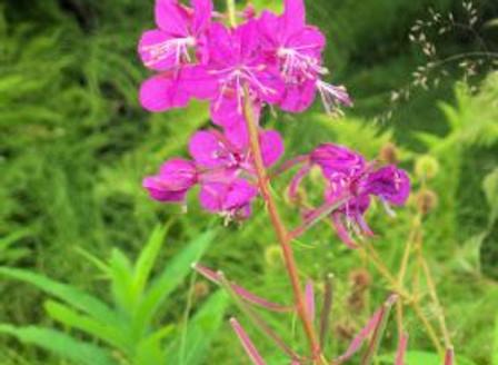 Alaskan Fireweed