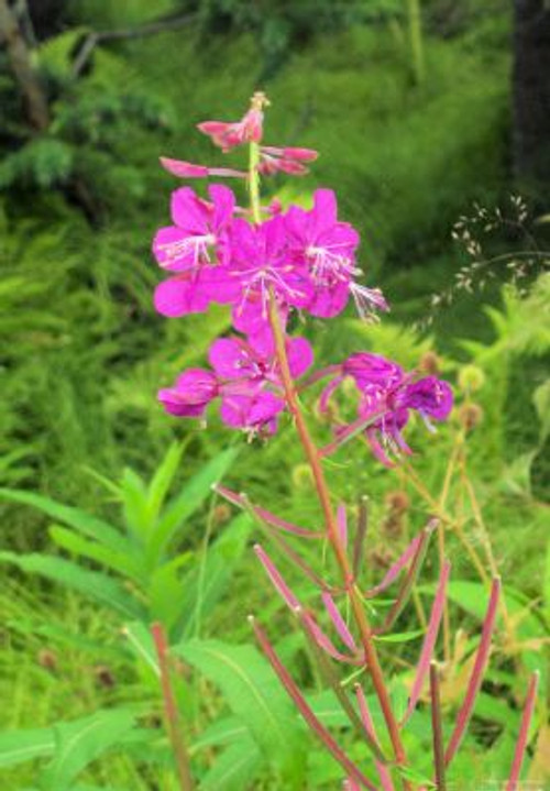 Fireweed in Homer