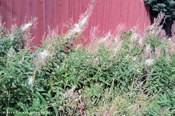 Fireweed Fluff