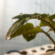 甜水トマト定植.JPG
