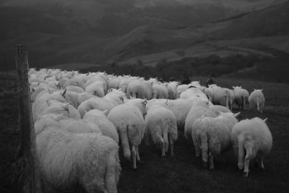 Miranda Whall crawling with sheep