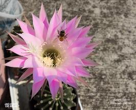 Desayunando en flor de cactus