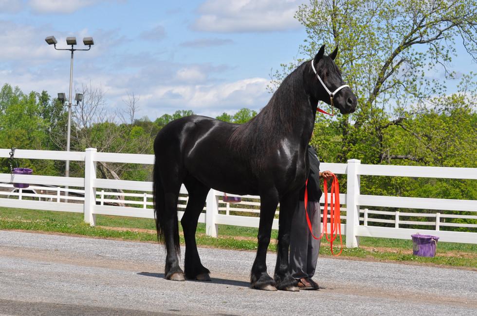 Gina - 2012 Friesian x Friesian / Saddlebred