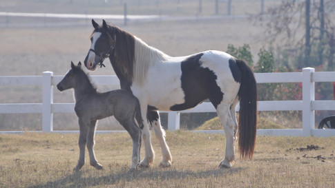 Twin + America - Paint Mare + Friesian Sporthorse Filly