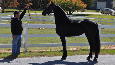 Willow - Friesian Mare