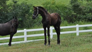 Okie Dokie - Friesian Sporthorse Colt