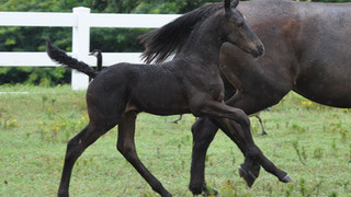 Sold Horses | Friesian Sales and Stud Services