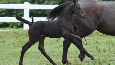 Morocco - Friesian Sporthorse Filly