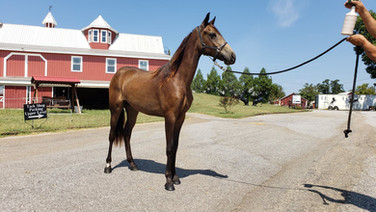 Miss Lady - TWH Filly