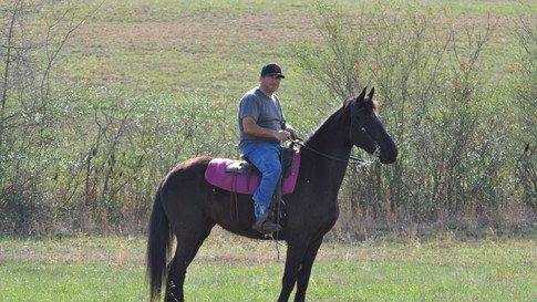 Midnight - Friesian Sporthorse Mare