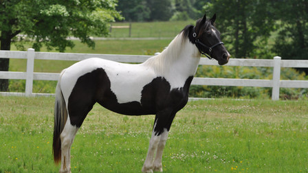Tequila Sunrise - Friesian Sporthorse Filly