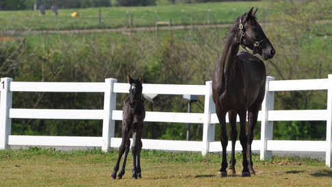 Nelly + Foal - TWH + Friesian Sporthorse