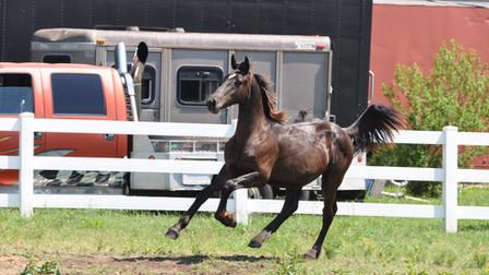 Tacoma - Friesian Sporthorse Colt