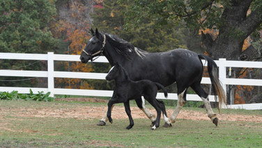 Vixen - Friesian Sporthorse Filly