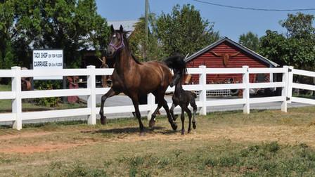 Princess + Utah - Saddlebred and FSH Colt