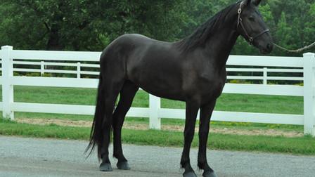 Simba - Friesian Sporthorse Stallion