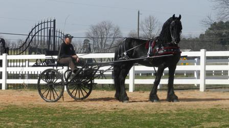 Albert - Friesian Stallion