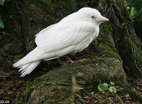 Vacature : witte merel (m/v)