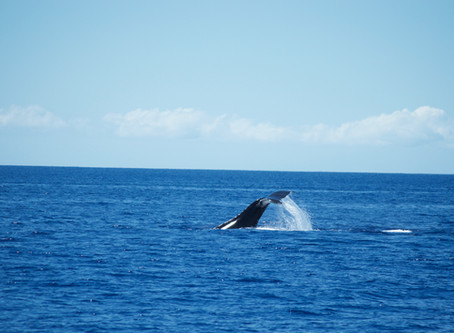 Maui Pt. 2: Whale Watching