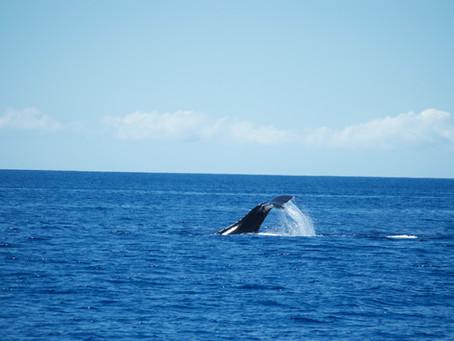 Maui Pt. 2: Whale Watching