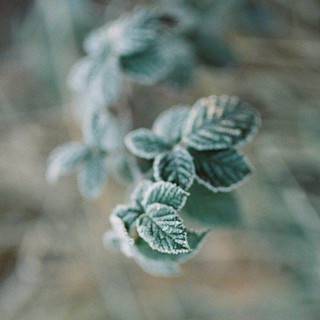 love me some winter green_#naturesdetails #oregon #winter #winterwedding #weddingphotography #frosty #contax645 #filmisnotdead