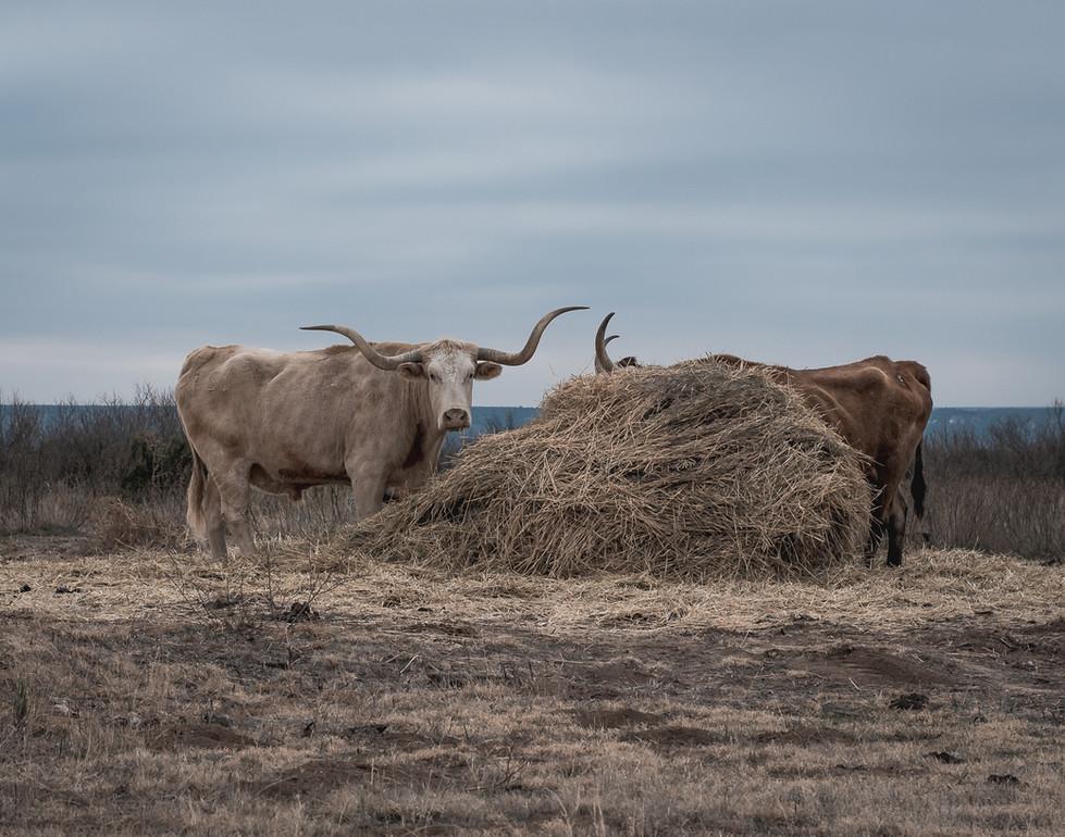 Longhorns 11x14.jpg