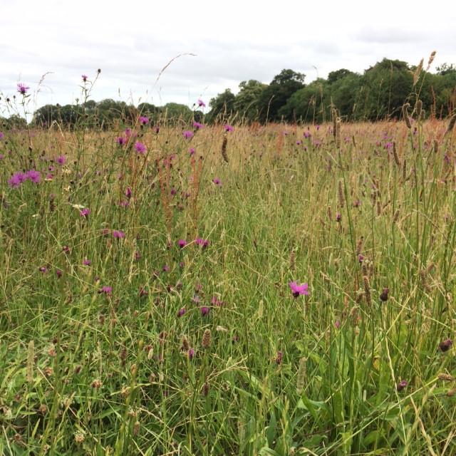 Summer meadow in Goodnestone
