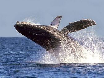 ballenas-jorobadas.jpg