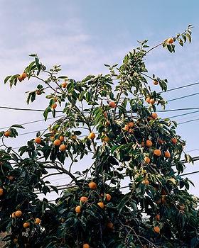 Persimmon Tree, 2017.jpg