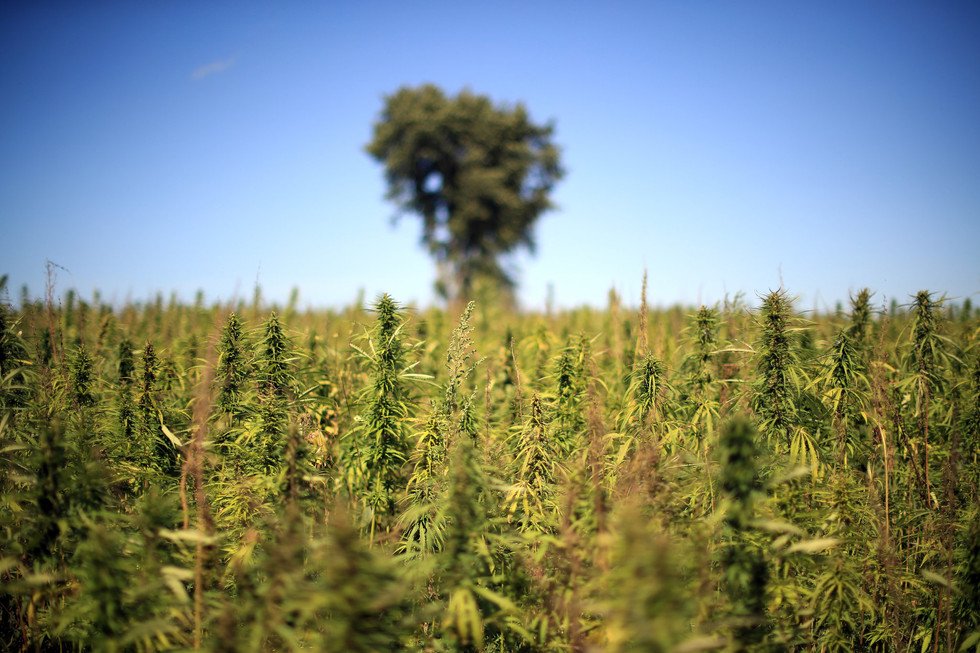 Benefits of Hemp Seed Oil for Health