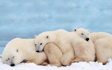 polar-bears-wallpaper-4.jpg
