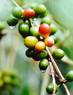 granos de cafe verdes y rojos en cafetal