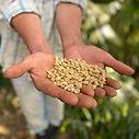 caficultor sosteniendo granos de café en verde