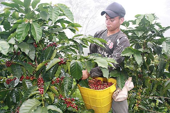 caficulotr recolectando granos de cafe maduros