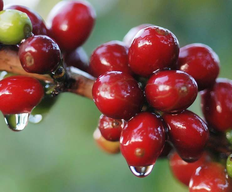 cereza madura café variedad geisha