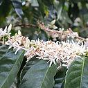 flor de la planta de café