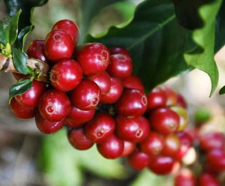 granos maduros café cenicafé 1