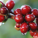 granos de café maduros