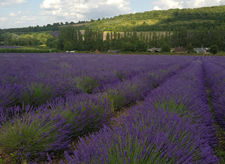 Visiting English Lavender Fields in Kent