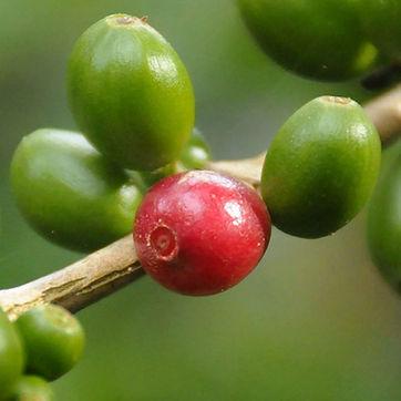 cafe porte grano de cafe maduro
