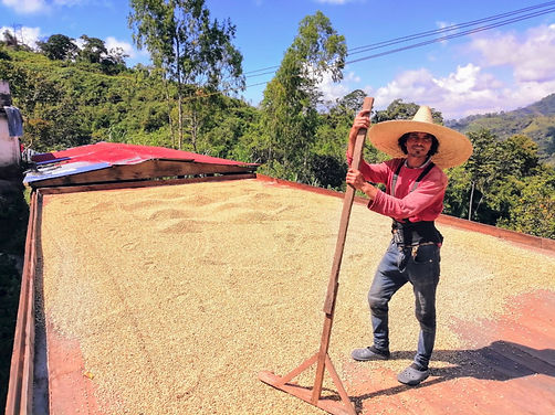 recolector de café en una plancha de secado de granos al sol
