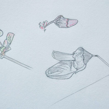 Pencil drawing of Western Redbud.