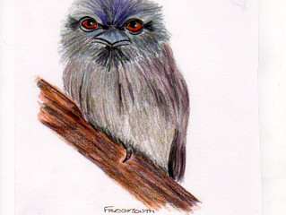 Tawny Frogmouth - the cutiest of faces