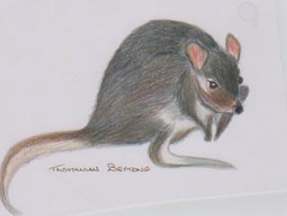 Tasmanian Bettong